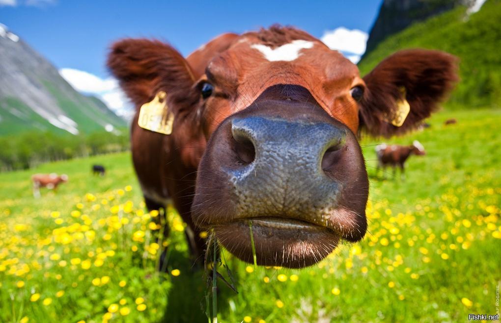 Корова жует клевер картинка
